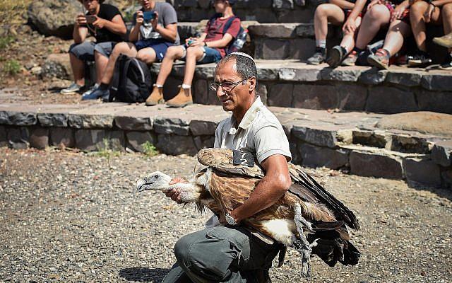 Un vautour tombé malade après avoir été empoisonné est relâché dans la nature à Gamla, sur le plateau du Golan, le 16 mai 2019 (Crédit : Basel Awidat/Flash90)