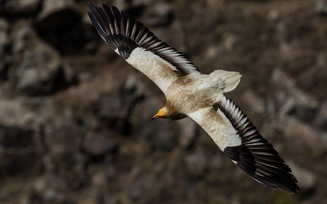 Un vautour égyptien en vol au-dessus de la réserve naturelle de Gamla dans le Golan israélien, mai 2013. . (Wikipedia/Вых Пыхманн/CC BY-SA)