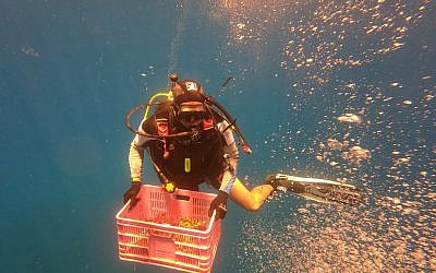 Un employé de l'Autorité israélienne de la nature et des parcs transporte des coraux dans la mer Rouge après les avoir retirés d'une colonne soutenant la jetée de pétrole brut du pipeline Europe-Asie au large d'Eilat, dans le sud d'Israël, le 21 mai 2019, en prévision des travaux de maintenance sur le site. - L'Autorité de la nature et des parcs déplace régulièrement les coraux dans des endroits sûrs dans le cadre de ses efforts pour préserver les animaux protégés, qui sont essentiels pour l'éco-système maritime. (Crédit : (Crédit : MENAHEM KAHANA / AFP)