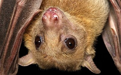 Une chauve-souris de type roussette (Autorisation)
