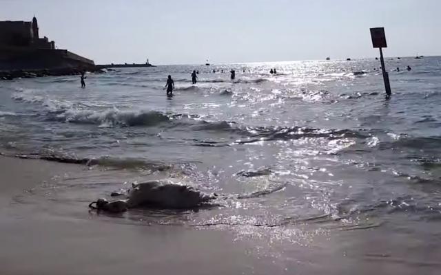 Une carcasse de bovin sur le rivage de la plage de Jaffa ouverte aux chiens, le 9 juin 2019 (Capture d'écran/YouTube)