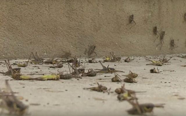 Des nuées de sauterelles à Moshav Alonei Habashan  dans les Plateaux du Golan, le 4 juin 2019. (Capture d'écran : Kan)