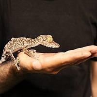 L'un des dizaines de reptiles découverts dans un appartement de Tel Aviv dans le cadre d'une opération internationale contre le commerce illégal d'animaux, juin 2019. (Direction de la Nature et des Parcs d'Israël)