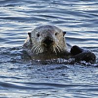 Photo d'illustration : Une loutre de mer à Morro Bay, en Californie, le 15 janvier 2010 (Crédit : AP Photo/Reed Saxon, file)