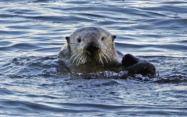 Photo d'illustration : Une loutre de mer à Morro Bay, en Californie, le 15 janvier 2010 (Crédit : AP Photo/Reed Saxon, file)
