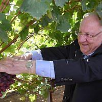 """Le président Reuven Rivlin inspecte une nouvelle variété de raisins, nommée """"Rivlin"""" en hommage à sa femme, au centre de recherche du ministère de l'Agriculture, à Beit DAgan, le 15 août 2019. (Crédit : Mark Neiman/GPO)"""