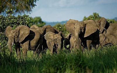 Un troupeau d'éléphants forme un cercle de protection face à une menace perçue dans le parc national de Mikumi, en Tanzanie, le 21 mars 2018 (Crédit : AP Photo/Ben Curtis)
