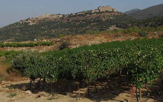 Des vignes dans le nord du Plateau du Golan (Crédit photo : Flash90)