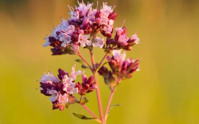 Une fleur d'origan. (Crédit : Ivar Leidus / Wikimédia / CC BY-SA 3.0)