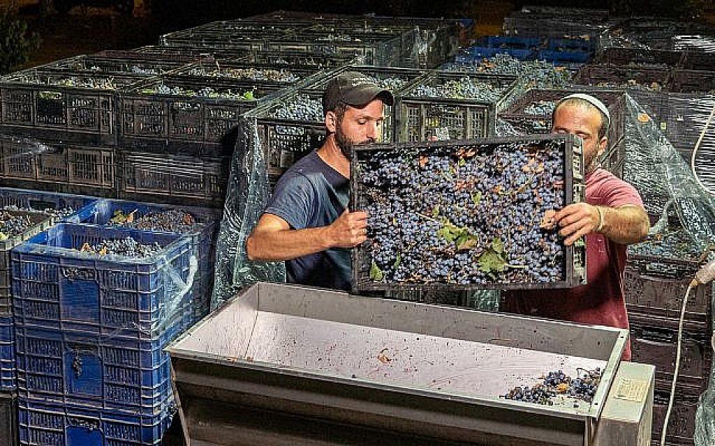 Des employés juifs travaillent sur le vignoble de Beit El dans l'implantation juive de Beit El en Cisjordanie, le 4 septembre 2019. (Hillel Maeir/Flash90)