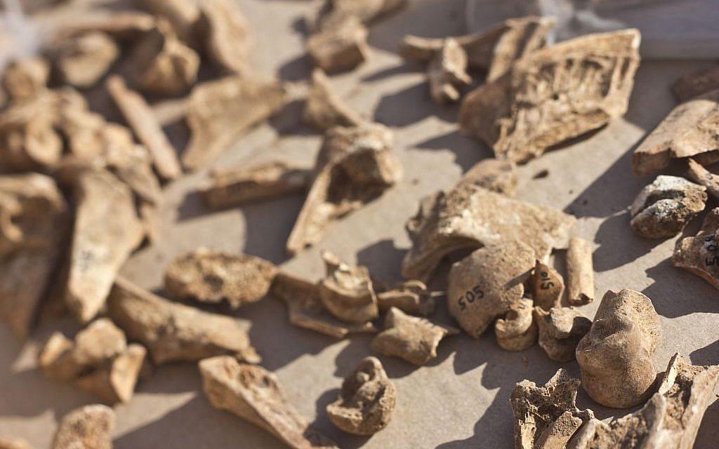 Des fragments d'os appartenant à un assortiment d'ongulés du paléolitique découverts dans la cave de Manot (Crédit : : Judah Ari Gross/Times of Israel staff)