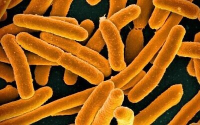 Bactérie E. coli. (NIAID/Wikimedia Commons, CC BY 2.0) ,