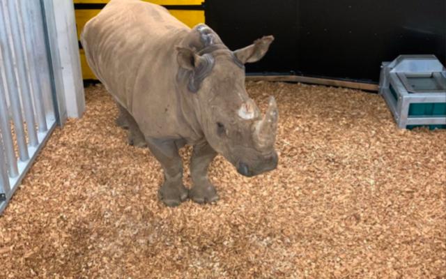 Quatre rhinocéros israéliens originaires du zoo safari de Ramat Gan sont arrivés le 12 décembre dernier au zoo de Zurich. (Crédit : Dominik Ryser / Zoo de Zurich)