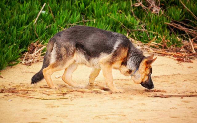 Un chien renifleur. Illustration (Crédit : pxhere/domaine public)