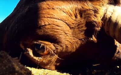 Une vache respire encore après qu'un employé qui n'a jamais utilisé d'arme à feu lui a tiré quatre balles dans le corps (Capture d'écran : Kan)