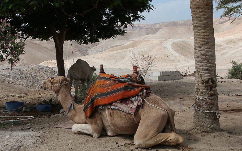 Des chameaux sur le site religieux de Nebi Musa, en Cisjordanie. Les processions musulmanes là-bas ont cessé dans les années 1930 et 1940 (Crédit :Shmuel Bar-Am)