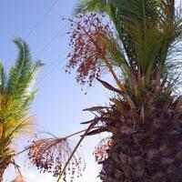 Des palmiers dattiers (Crédit : www.publicdomainpictures.net)