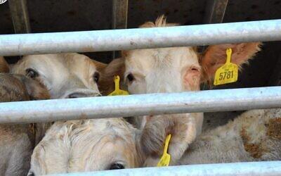 Des veaux dans un transport d'animaux vivants venant d'Australie à Eilat pour l'engraissement avant l'abattage, au mois de décembre 2019. (Israel Against Live Shipments)