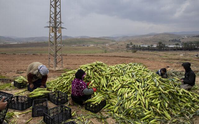 Des fermiers palestiniens ramassent du maïs dans la vallée du Jourdain, en Cisjordanie, le 2 janvier 2020 (Crédit : AP Photo/Oded Balilty)