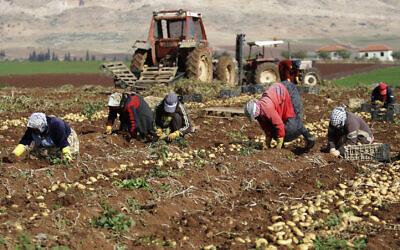 Photo d'illustration : Des agriculteurs palestiniens ramassent des pommes de terre dans un champ d'Al Aghwar, près de Jéricho, en Cisjordanie, le 18 janvier 2014 (Crédit : AP Photo/Nasser Ishtayeh)