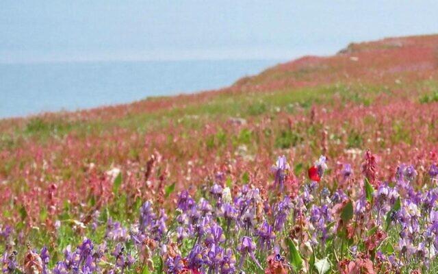 Des fleurs sauvages à la Mer Morte.(Crédit : Avner Rinot, Société de protection de la nature en Israël)
