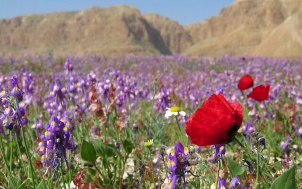 Spectacle floral coloré sur les rives habituellement desséchées de la mer Morte | The Times of Israël