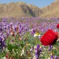 Des fleurs sauvages à la Mer Morte.(Avner Rinot, Société de protection de la nature en Israël)