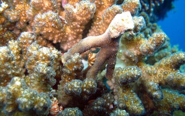 Des coraux poussent sur des pieux de construction dans le port d'Eilat. (Crédit : Dr Assaf Zvuloni, écologiste du district d'Eilat/Autorité de la nature et des parcs)