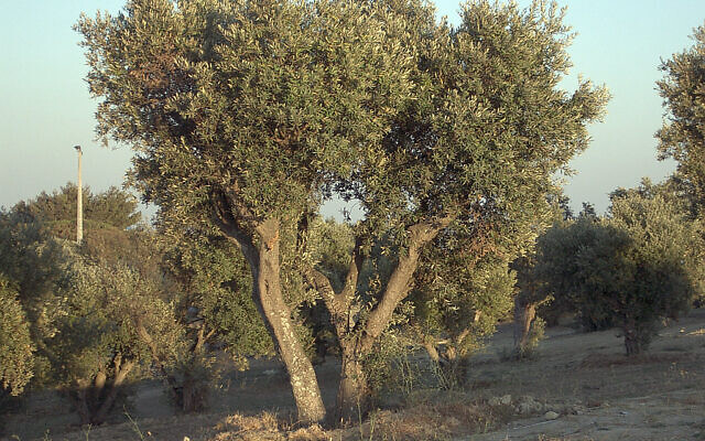 Un olivier au Portugal. (Crédit : Wikipédia / CC BY-SA 3.0)