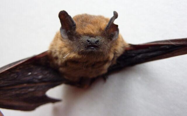 Une chauve-souris Pipistrelle de Kuhl.(CC BY-SA, Salix, via Wikipedia)
