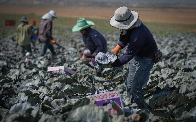 Des travailleurs étrangers dans un champ de choux dans le sud d'Israël, le 6 octobre 2016. (Yaniv Nadav/Flash90)