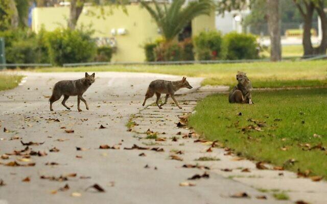 Des chacals traversent une allée du parc HaYarkon de Tel Aviv, le 13 avril 2020. (Crédit : JACK GUEZ / AFP)