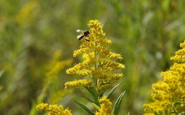 Une abeille pollinisant une fleur (Crédit :  Dana Wachter/Times of Israel)