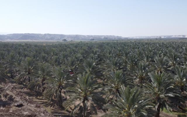 Des palmiers dattiers dans la Vallée du Jourdain pollinisés par Blue and White Robotics and Dropcopter (Autorisation)