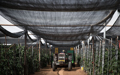 Des travailleurs cueillent des poivrons à Tzofar, le 14 février 2018. (Hadas Parush/Flash90)