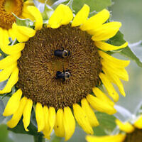 Un couple de bourdons visite et pollinise un tournesol dans un champ de Gaddis Farms à Bolton, Mississippi, le vendredi 13 juillet 2018. (AP Photo/Rogelio V. Solis)
