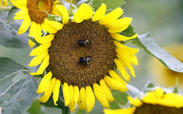 Un couple de bourdons visite et pollinise un tournesol dans un champ de Gaddis Farms à Bolton, Mississippi, le vendredi 13 juillet 2018. (AP Photo/Rogelio V. Solis)