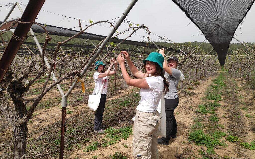 Les étudiants d'Eliav, programme préparatoire prémilitaire à proximité de Kiryat Gat, où ils mènent des activités de bénévolat dans les champs des agriculteurs pendant la crise du coronavirus (Autorisation : Dafna Novik)