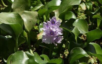 L'Eichhornia crassipes, communément appelée «jacinthe d'eau» dans l'Euphrate, plante envahissante originaire d'Amérique du Sud qui a ravagé les écosystèmes à travers le monde, introduite en Irak il y a seulement deux décennies comme plante décorative, dans le district irakien de Shatrah, dans le sud de la province de Dhi Qar, le 4 juin 2020. (Crédit : Asaad NIAZI / AFP)