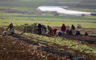Des agriculteurs palestiniens récoltent des oignons dans la Vallée du Jourdain, en Cisjordanie, le 10 février 2020 (Crédit : AP/Majdi Mohammed)
