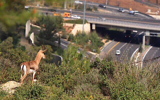 Une gazelle de montagne regarde l'autoroute en Israël (Crédit : Amir Balaban, Société pour la protection de la nature en Israël)