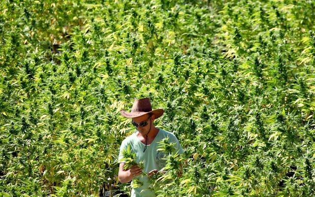 Un producteur de cannabis s'occupe de plants dans un champ de la société Tikun Olam près de la ville de Safed, dans le nord du pays, le 31 août 2010. (Crédit : Abir Sultan / Flash90)