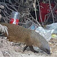 Une mangouste marche au milieu des ordures, d'après une présentation de la députée Miki Haimovich lors d'une réunion de la commission des Affaires intérieures et de l'environnement de la Knesset sur les déchets, le 2 juin 2020. (Crédit : Osnat El-Az, Société pour la protection de la nature en Israël).