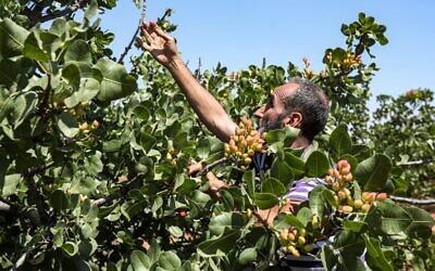 Un cultivateur de pistaches dans un verger dans le village de Maan, au nord de Hama, dans le centre-ouest de la Syrie, le 24 juin 2020. (LOUAI BESHARA / AFP)