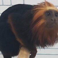 Le singe retrouvé par la police plusieurs jours après son vol dans un zoo de Kiryat Motzkin, en juillet 2020. (Police israélienne)