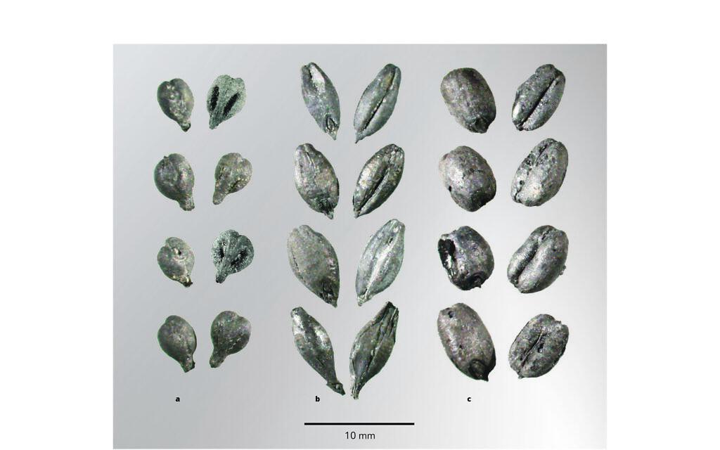 Près de 10 000 graines de raisin (a), d'orge (b) et de blé (c) ont été récupérées et recensées dans 11 monticules de déchets sur trois sites du Néguev de l'époque byzantine, à Haluza, Shivta et Tel Nitsana. (Daniel Fuks)