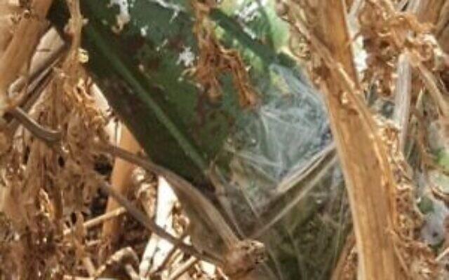 Une ogive de roquette présumée qui aurait été envoyée dans le sud d'Israël à l'aide d'un ballon depuis la bande de Gaza et qui a été découverte dans la région d'Eshkol, le 27 juillet 2020 (Crédit : Région d'Eshkol)