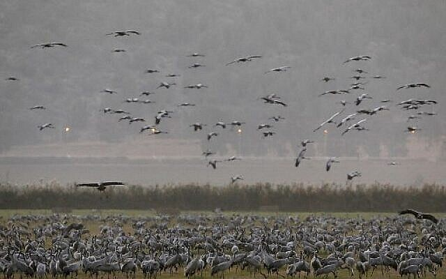 Grues grises en migration au lac Agmon Hula dans la vallée de la Hula au nord d'Israël, le 16 novembre 2017. (AFP Photo/Menahem Kahana)
