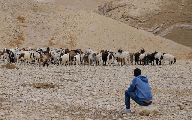 Photo d'illustration : Un berger bédouin regarde ses moutons dans le désert de Judée, le 26 octobre 2019 (Crédit : Sara Klatt/Flash90)