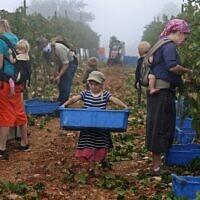 Des bénévoles chrétiens évangélistes récoltent des grappes de Merlot le 23 septembre 2020, pour le domaine viticole israélien Tura, dans l'implantation de Har Bracha, en Cisjordanie.(MENAHEM KAHANA / AFP)